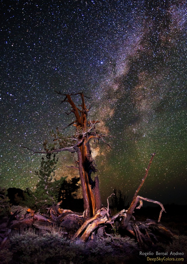 The Obscure Bristlecone Pine | Rogelio Bernal Andreo